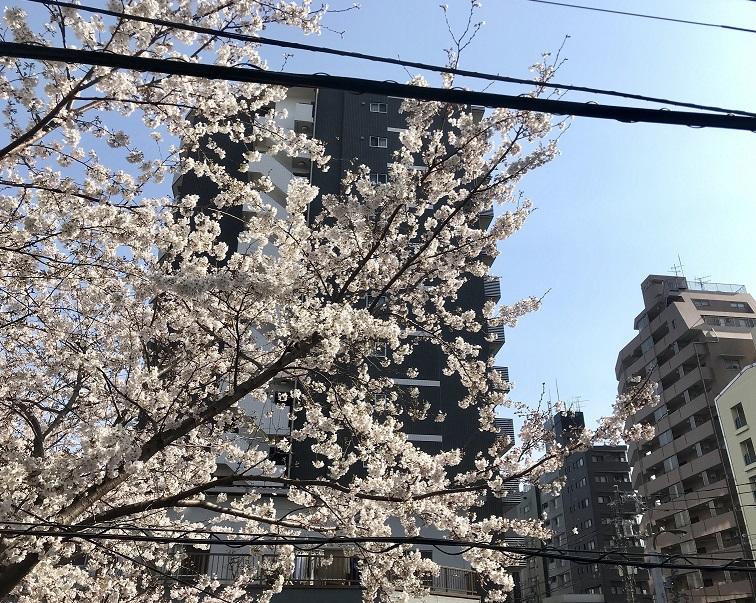 201903桜2-1.jpg